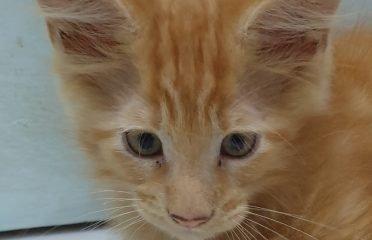 Pure Maine coon kitten